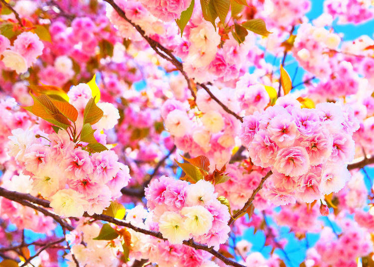 10. When is the best time for cherry blossoms in Japan?