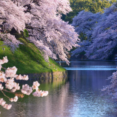 Experience Tokyo's Best Cherry Blossoms with a Pro Guide