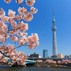 Tokyo Cherry Blossom Cruise with Food & Unlimited Drinks