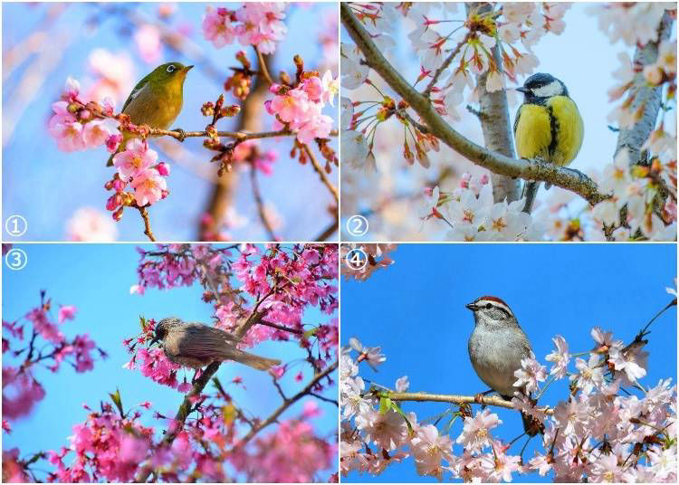 15. What are those birds in Japanese cherry blossom trees?