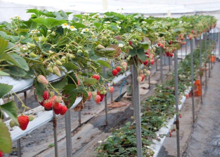 2. 就是去不膩「鎌倉觀光草莓園」 (神奈川)