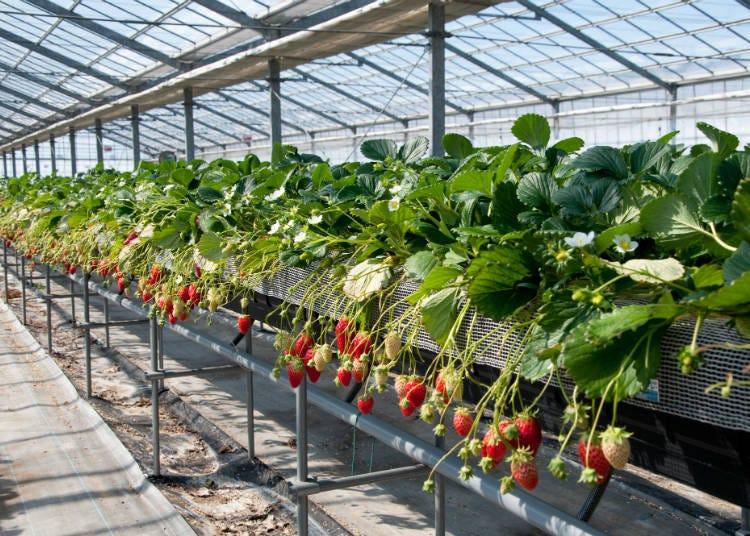 採草莓前的注意事項