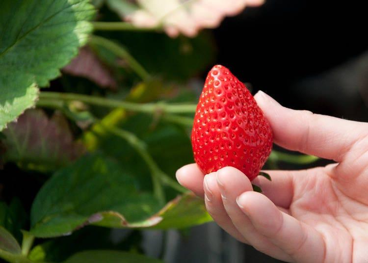 實際教你如何完美採收草莓!