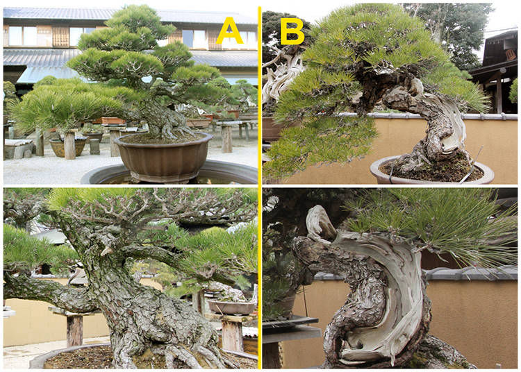The Black Pine Bonsai Challenge: Which One Costs One Million Dollars?