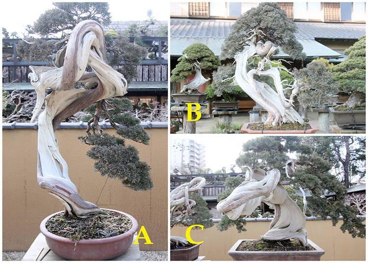 The Chinese Juniper Bonsai Challenge: The Tree Value Ranking