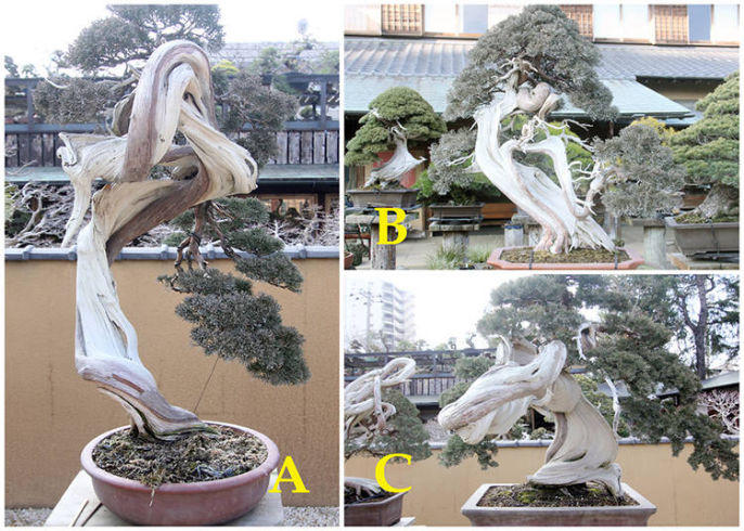 Million Dollar Bonsai How To Tell A Bonsai Legend Apart Live Japan Travel Guide