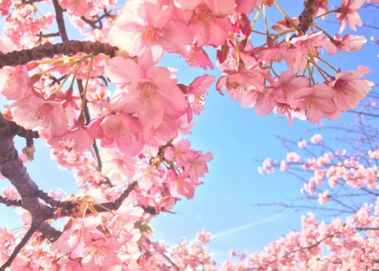 Sakura Photo Tips #2. Time yourself around sunrise and sunset