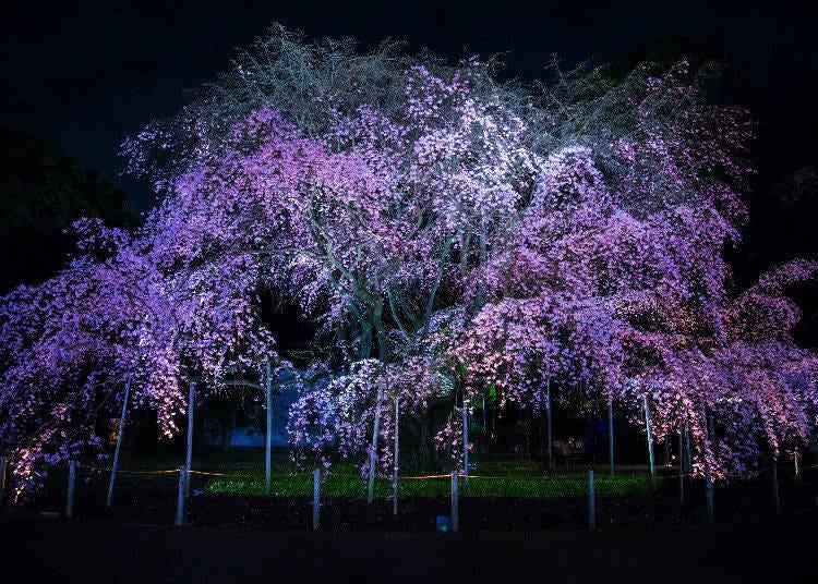 Sakura Photo Tips #6. Wait for night