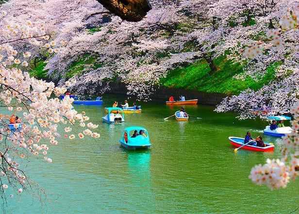 Admire Tokyo's Prettiest Cherry Blossoms at Chidorigafuchi Moat
