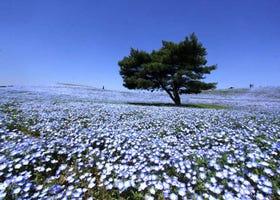 空と海の間に広がる大絶景 ネモフィラが咲き誇る青い丘へ