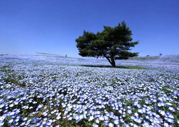 漫步海天一線藍色山丘 日本「國營常陸海濱公園」粉蝶花群爭豔
