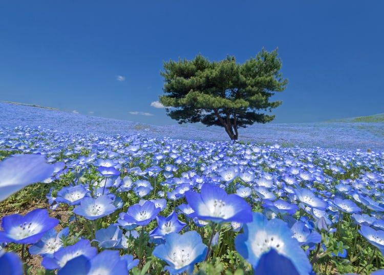 Hitachi Seaside Park: Home to Japan's Dreamy Blue Sea of Flowers! (Nemophila, Tulips & More!)