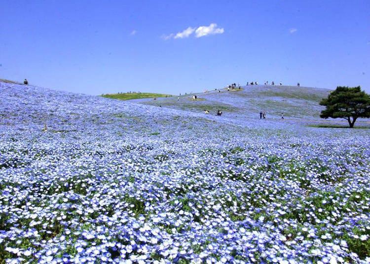 네모필라 절경을 볼 수 있는 것은 여기!  국영 히타치 해변 공원・미하라시노오카