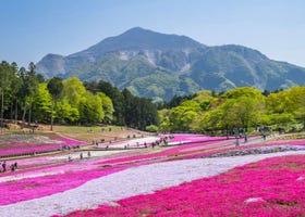 Hitsujiyama Park Shibazakura Hill 2021: Stunning Beauty of Gorgeous Pink Moss!