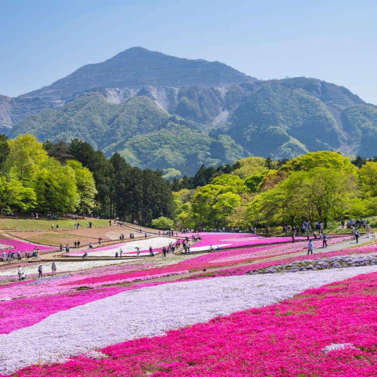 (Video) Moss Phlox at Hitsujiyama Park: The Stunning Beauty of Shibazakura!