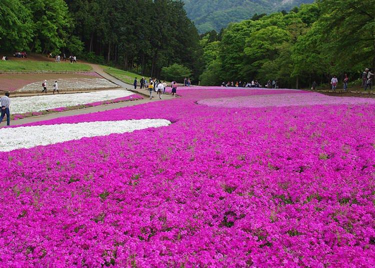 Enjoying Shibazakura #2 - The Best Views and Photo Spots
