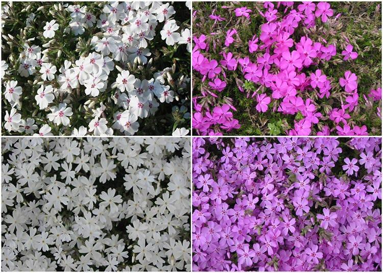 Enjoying Shibazakura #3 – The 9 Different Moss Phlox of the Park