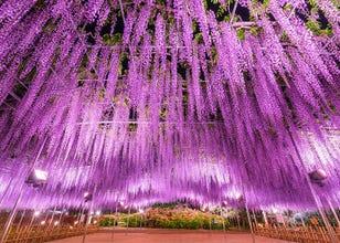 Ashikaga Flower Park: Breathtaking Wisteria Wonderland and a CNN Dream Destination (Video)