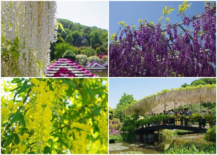 Ashikaga Flower Park: Japan's Most Stunning Wisteria Spot