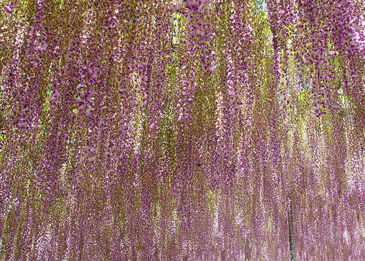 CNN에서 뽑힌 이유는 여기에 있다! 엄선한 등나무 꽃 베스트 샷!