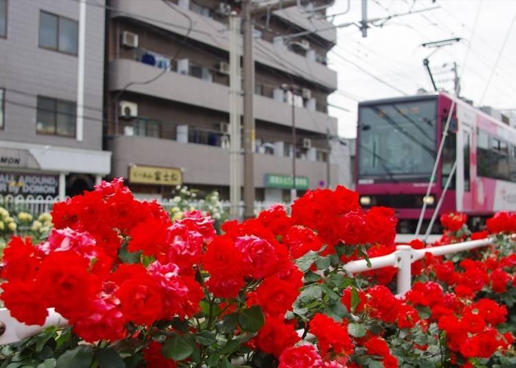 Rose Viewing Spot #6: The Rose Highway Extending from Arakawa-Yūenchimae to Arakawa-Shakomae