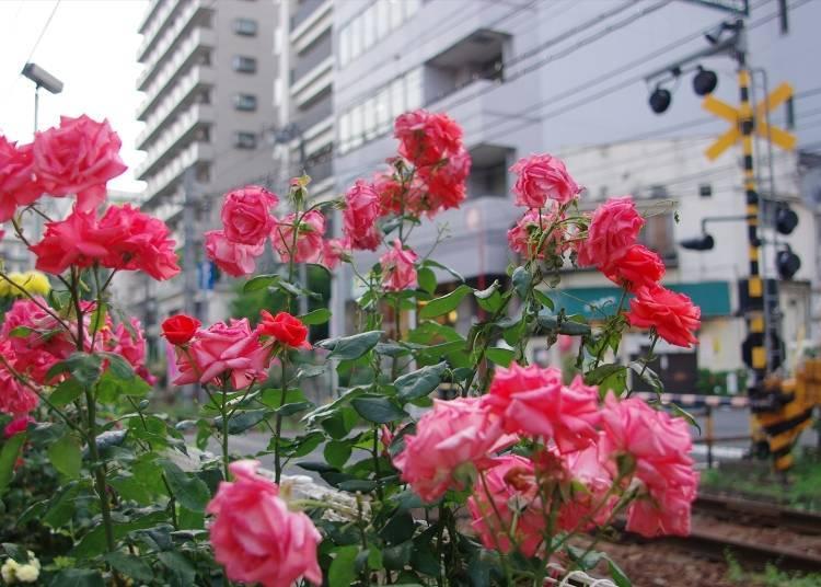 Rose Viewing Spot #7: Scenic Roses of Toshima Ward, from Otsuka Station to Mukaihara