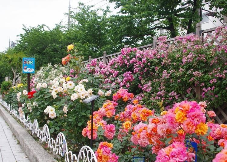 Bonus #2: The Rose-Lined Path to Arakawa Amusement Park, the Arakawa- Yūenchimae Station
