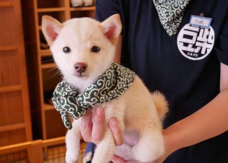 不只有貓咪咖啡廳 東京超萌「原宿乃豆柴咖啡廳」享受被柴柴包圍的犬迷天堂