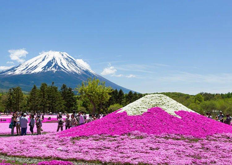 1. Fuji Motosuko Resort: A Perfect Pink Carpet of Pink Moss Phlox (Fuji Shibazakura Festival)