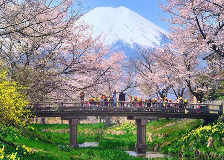 2. Oshino Omiya Bridge: Magical Marriage of Cherry Blossoms and Mount Fuji's Snowy Peak