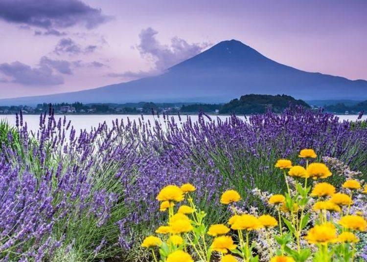 4. Oishi Park & Yagizaki Park: Relax With Mt. Fuji and Lavender (Lake Kawaguchiko Herb Festival)