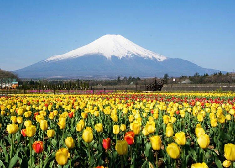 5. Yamanakako Hananomiyako Park: a Full, Unmarred View of Mount Fuji and a Lush Flower Garden