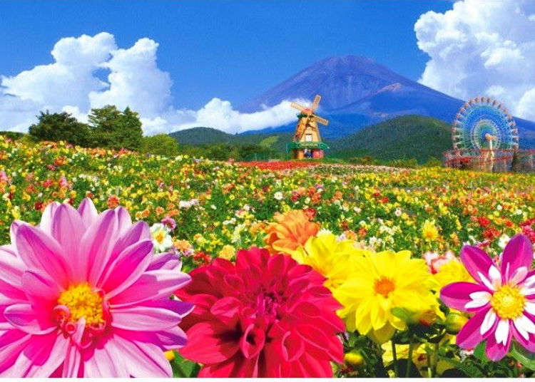 Japan's Spectacular Flower Fantasy 2019: 30,000 Dahlias Right in Front of Mount Fuji!