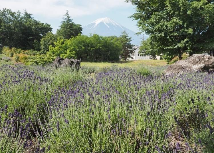 河口湖一日遊行程⑤在「八木崎公園」欣賞滿滿的薰衣草美景