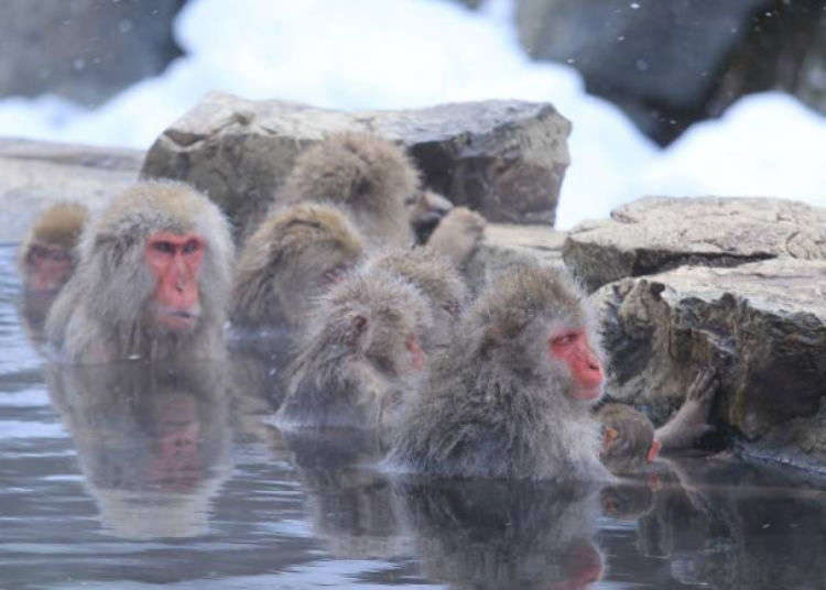 Kawaii Japan in Winter: Check Out These Adorable Bathing Animals!