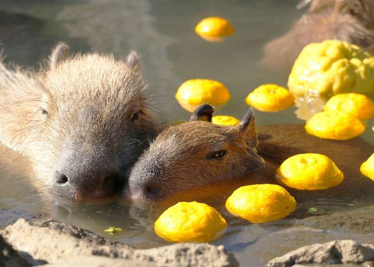 Japan's Cute Capybara: From Tropical Jungle Animals to Bathing Superstars!