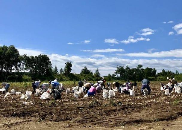 【厚真町】田んぼオーナー制や芋掘り体験など充実の農業体験が楽しめる