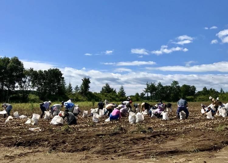 【厚真町】農田業主制度及體驗挖馬鈴薯的樂趣等各種充實的農業活動