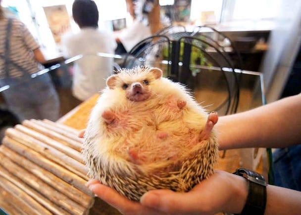 9. Hedgehog Café Harry