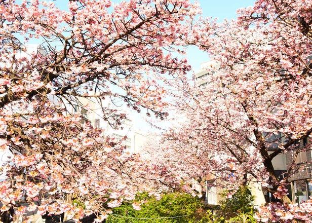 Atami Sakura: Japan's Incredible Early Blooming Cherry Blossoms Near Tokyo! (February 2021)