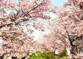 【東京近郊旅遊】2020熱海櫻花季現正盛開!想要不擠人賞櫻 就要搶先賞日本早開櫻花!