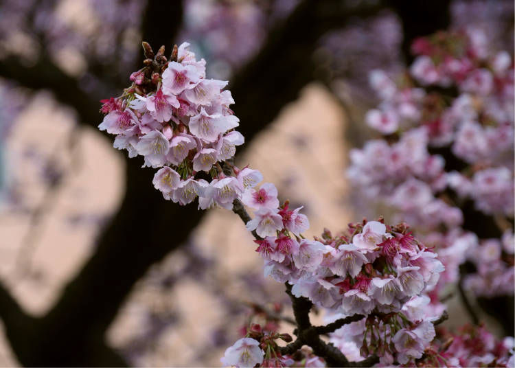 Where Can I See Atami Sakura?