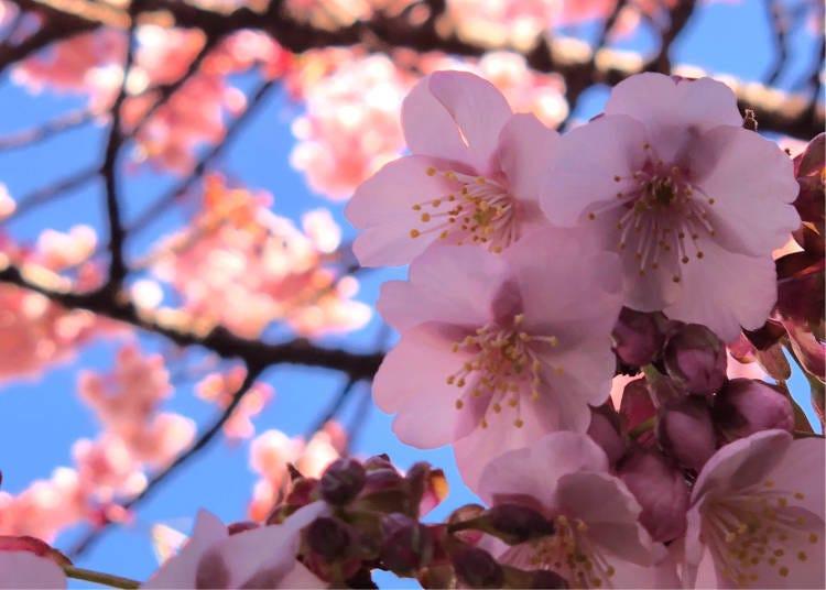 2月盛開的熱海櫻花!
