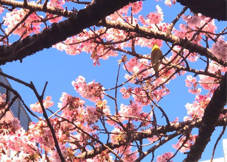 熱海櫻花的最佳觀賞時間是這時候!