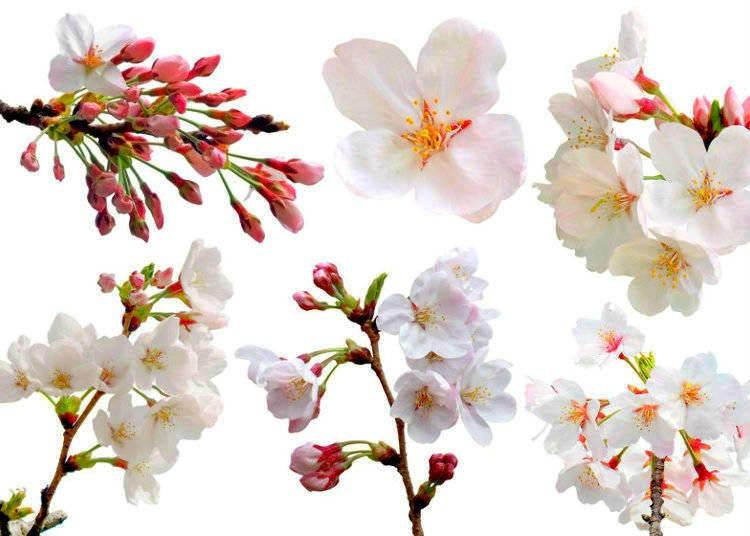 도쿄 벚꽃 축제는 언제?