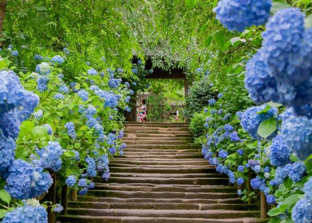 June: Colorful Hydrangeas in Ancient Kamakura