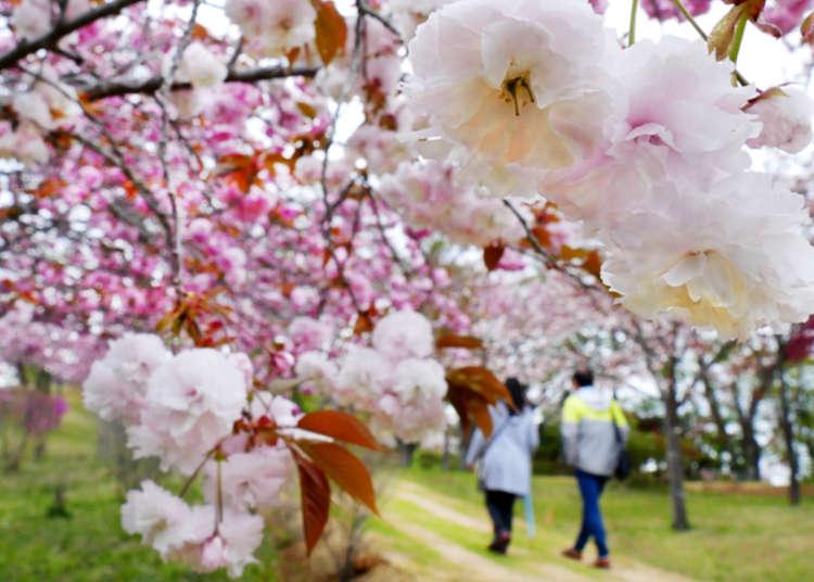 Yaezakura Best Places To See Late Blooming Cherry Trees Around