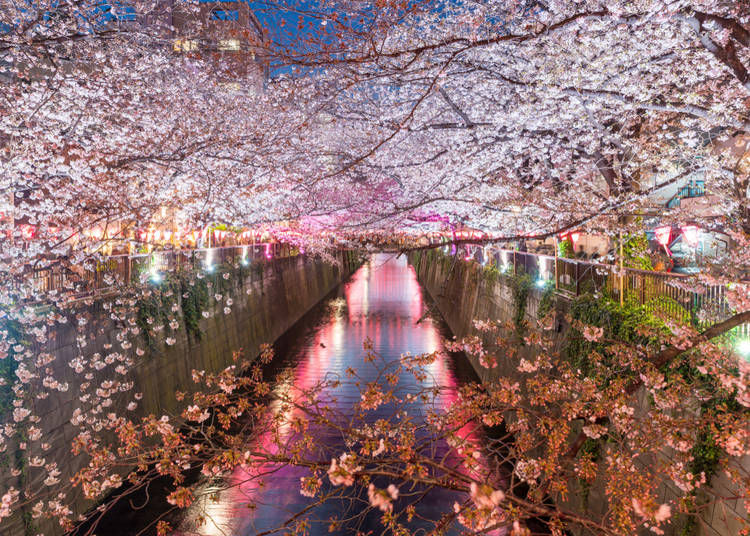Late-blooming cherry trees in Tokyo (Average flowering date: March 26)