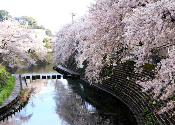 Kanagawa Prefecture (Average flowering date: March 26)