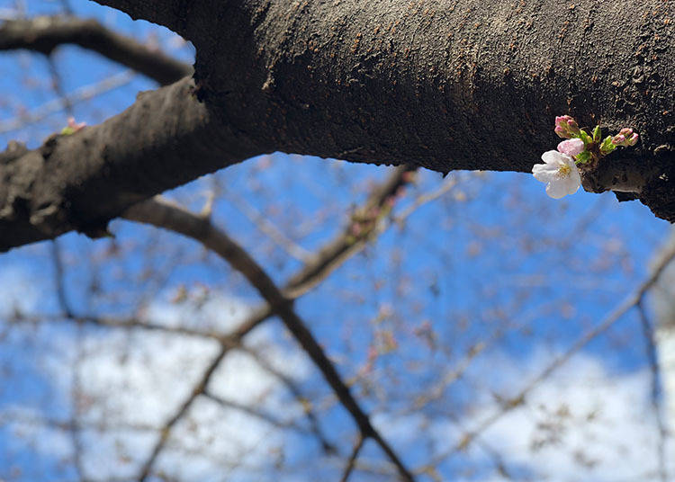 When does the Tokyo cherry blossom festival season start?